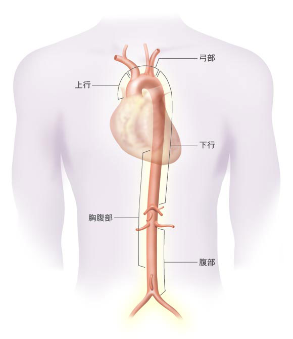 大動脈瘤|大動脈瘤について 基本編 | 社会医療法人財団 石心会 川崎幸病院